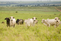吃草的牛 库存图片