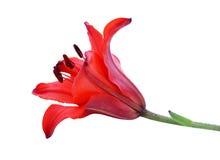 красный цвет лилии Стоковые Фотографии RF