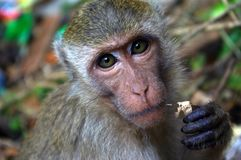 吃猴子 免版税库存图片