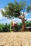 咖啡农夫 免版税库存照片