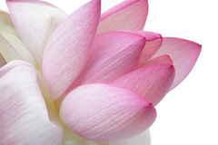лотос цветка Стоковые Изображения RF
