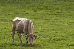 牛 库存图片