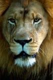портрет льва Стоковая Фотография