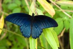 充满活力蓝色的蝴蝶 免版税图库摄影