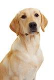 拉布拉多骄傲的猎犬 免版税库存照片