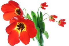 红色春天郁金香花瓶 库存图片