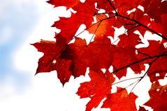 留下槭树红色 库存照片