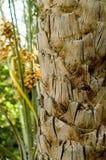 特写镜头棕榈树树干 库存图片