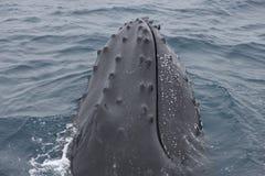 鲸鱼的接近的顶头驼背 库存照片