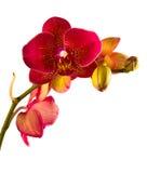 橙色兰花兰花植物 免版税库存照片