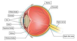 解剖学眼睛 免版税图库摄影