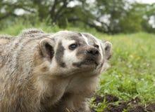 美国獾 免版税库存图片