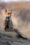 沙丘狐狸 库存照片