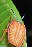 вонь нимфы черепашки Стоковое Изображение RF
