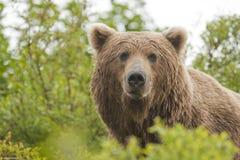 мужчина медведя коричневый Стоковая Фотография RF