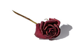 红色玫瑰凋枯了 图库摄影
