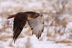 飞行被盯梢的鹰红色 库存图片