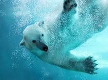 攻击熊极性水中 库存图片