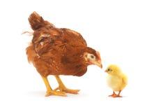 褐色接近的母鸡 免版税库存图片