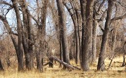 三角叶杨干燥林木 免版税图库摄影