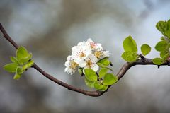 δέντρο λουλουδιών μήλων Στοκ εικόνες με δικαίωμα ελεύθερης χρήσης