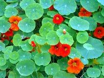 旱金莲属植物金莲花属 免版税库存照片