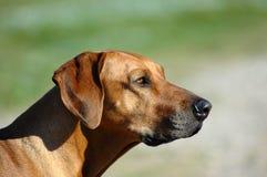 профиль собаки Стоковое Изображение