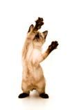 攻击小猫 免版税库存图片