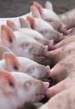 маленькие свиньи Стоковые Фото