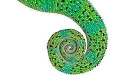 变色蜥蜴豹尾标 库存图片