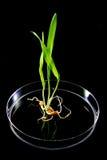 аграрное генетическое исследование манипуляции Стоковая Фотография