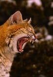 打呵欠的美洲野猫 免版税库存照片
