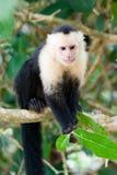 连斗帽女大衣面对猴子白色 库存照片