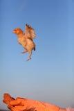 鸡飞行 免版税库存照片