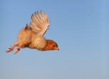 鸡飞行 库存照片
