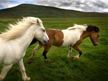 лошади одичалые Стоковые Изображения RF