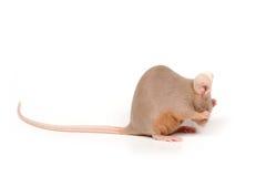 害羞的鼠标 免版税库存图片