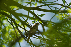 夜莺唱歌 图库摄影
