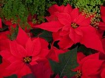 圣诞节开花红色的一品红 免版税图库摄影