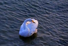 лебедь одичалый Стоковые Фотографии RF