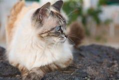 被注视的美丽的蓝色猫 免版税库存照片
