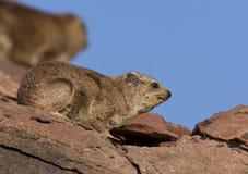 岩石非洲蹄兔(蹄兔属海角) -纳米比亚 免版税库存照片