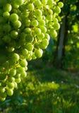 空白的葡萄 库存照片