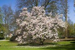 开花的木兰结构树 免版税库存照片