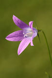 绽放花紫色 库存照片