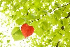 листья сердца Стоковое Изображение