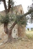 克利特修道院老橄榄树 免版税图库摄影