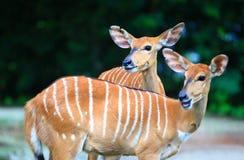 антилопа одичалая Стоковая Фотография