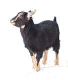 山羊孩子 免版税图库摄影