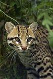豹猫 库存照片